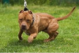 Dingo v American Pit Bull Terrier  Bull Terrier Blue Nose Pitbull Mix