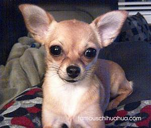 Meet Lucy The Adorable Tan Chihuahua Puppy From Kelowna