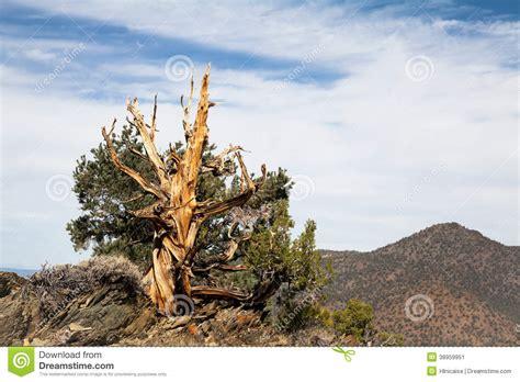 Ancient Bristlecone Pine Tree Royalty-Free Stock Image ...