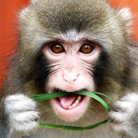 Honda Monkey Hd Photo by Monkey Animals Free Image High Defination Wallpaper