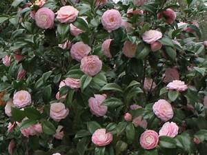 Camellia Japonica Winterhart : camellia japonica 39 pink perfection 39 great as shade plant for side of house gets 8 10ft tall ~ Eleganceandgraceweddings.com Haus und Dekorationen