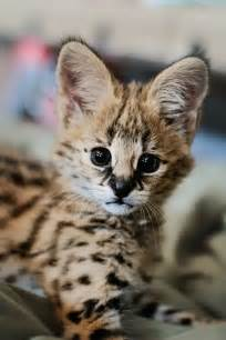 serval cat serval zooborns