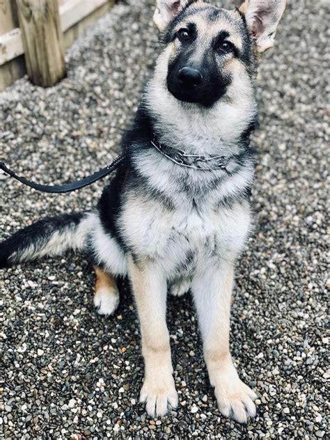 Chica Trained Rescue German Shepherd Mans Best Friend