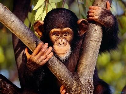 Monkey Jungle Monkeys Habitat Florida Animal Chimpanzee