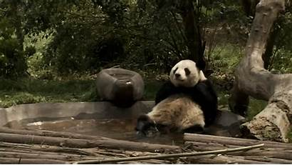 Panda Giphy Quiet Peace Gifs Animals Pool