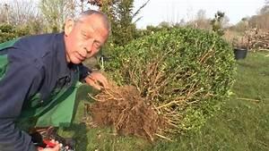 Wann Buxbaum Schneiden : buchsbaum umpflanzen buchsbaum buxus umpflanzen youtube ~ Lizthompson.info Haus und Dekorationen