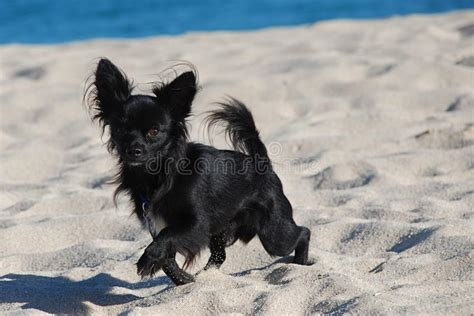 black long hair chihuahua   beach stock photo image