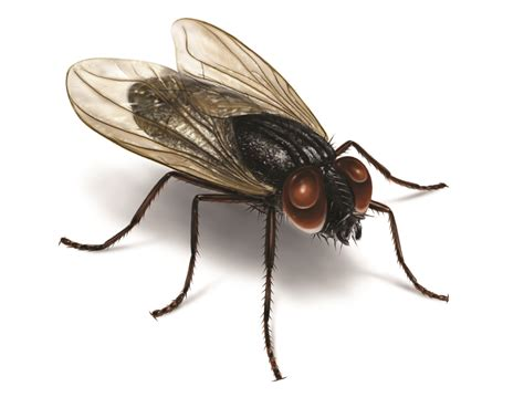 House Fly Lifespan How Long Do They Live