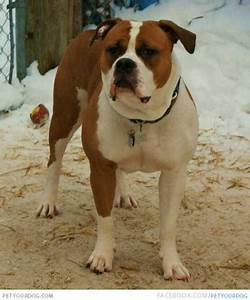 PetYourDog.com | Pet Your Dog | Brown and white EngAm ...