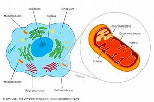 Mitochondria – cell powerhouses — Science Learning Hub