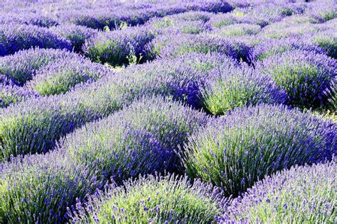 Lavendel [lavendula] Für Den Garten