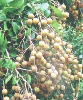 tanaman kelengkeng biji lada bibitbungacom