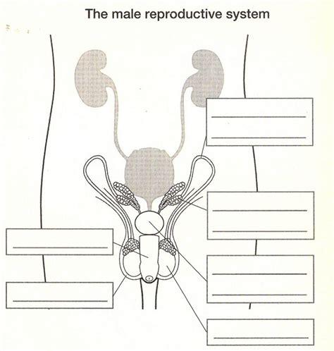 diagram   male reproductive system printable diagram