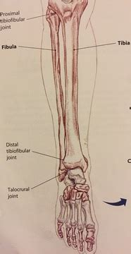 Most of the injuries that occur to the calf are actually injuries to the gastrocnemius, the largest of the three.2 x trustworthy source pubmed central journal archive. Ankle & Lower Leg Anatomy - Foot, Ankle & Lower Leg Orthopedic Assessment