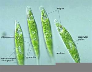 Euglena Slide Labeled