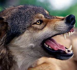 114 best images about Wolf head in profile, vlk z profilu ...