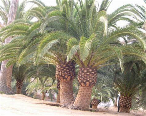 Palmeira Das Canárias: Bela e Robusta | Flores - Cultura Mix