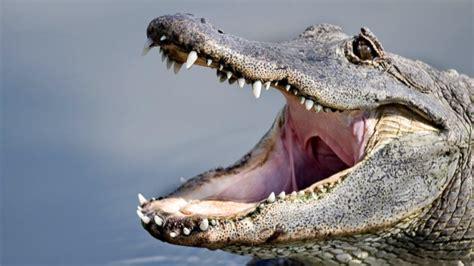 survive  alligator attack video abc news