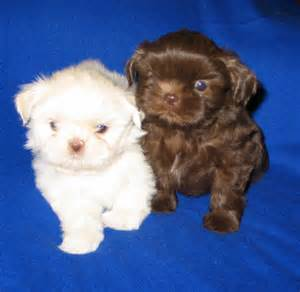 teacup dogs that dont shed dog breeds picture