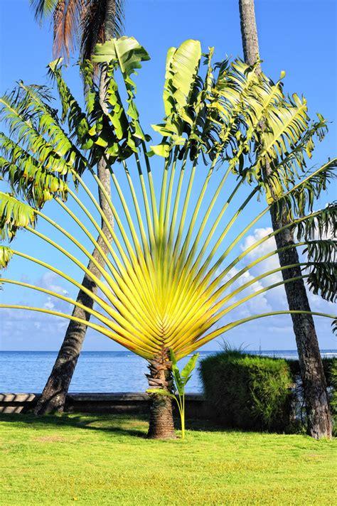 arbre du voyageur ravenala madagascariensis