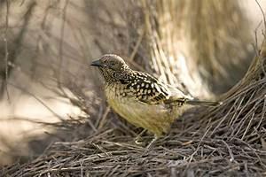 Western Bowerbird | BIRDS in BACKYARDS  Bird
