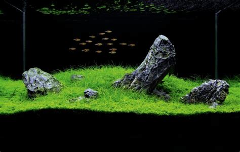 japanese aquascape how to set up an iwagumi aquarium practical fishkeeping