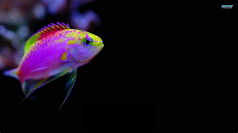 colorful saltwater fish free wallpapers featuring tropical colorful fishes