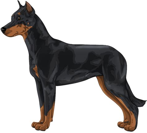 beauceron breed dogs showdog rust breeds colors information tuesday since 2006 january