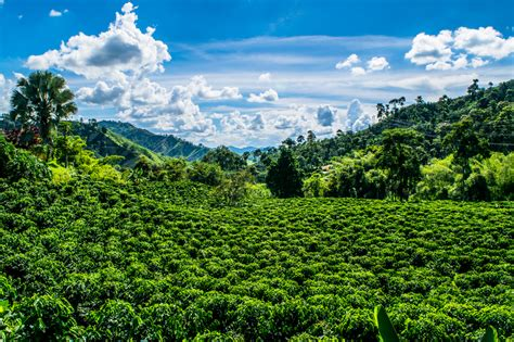 Coffee Farm In Colombia. A Coffee Farm Between Armenia And Chemex Iced Coffee Ratio Italian Pot Induction Best Instant Sweden Bialetti Maker How To Thailand Brewer Jug Problems