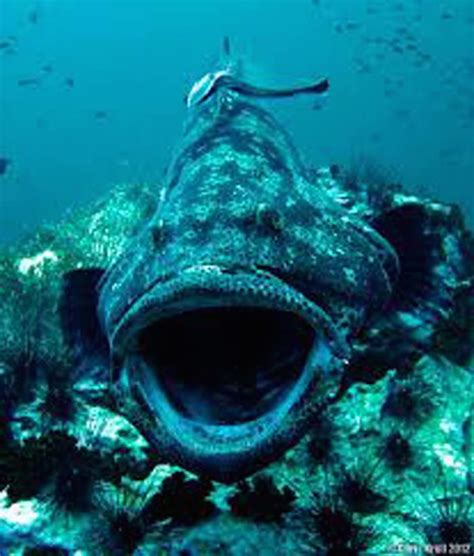 ocean grouper giant proof omg terrifying footage place awful source desktop earthporm