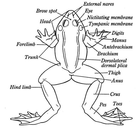 External Anatomy Of A Frog  Diagram Of A Frog