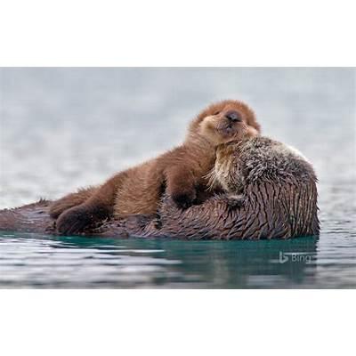 Sea otter with pup Prince William Sound Alaska USA