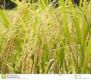 Rice Plant Stock Photo  Image Of Paddy  Fall  Farm  Economical