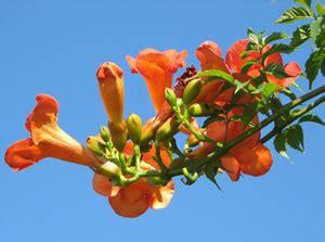 Kletterpflanzen Mit Blüten by Kletterpflanzen Ratgeber