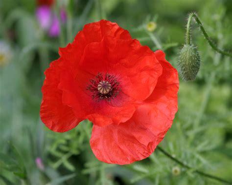 poppy flower photos desktop hd wallpapers perennial wild flowers