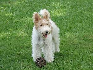 Wire Hair Fox Terrier Puppies - Dog Breeds Puppies