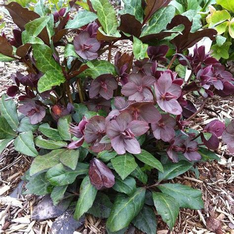 hellebores growing conditions 65 best ideas about landscape ideas part sun shade on pinterest gardens ferns and oak tree