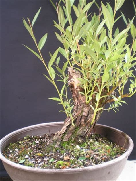 westerwald bonsai der weg einer weide
