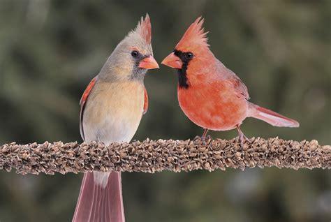 crimson facts  cardinals mental floss