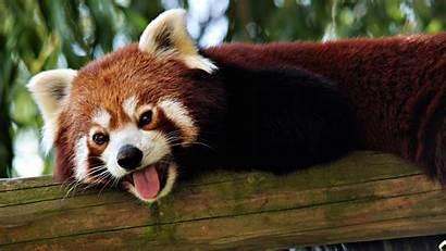 Panda Wallpapers Background Animal