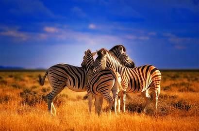 Zebra Wallpapers 2560 Nu 1680