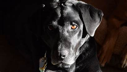 Hunting Labrador Retriever Dog Dogs Pb Things