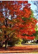 sugar maple trees add ...Sugar Maple Tree