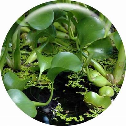 Invasive Species Oregon Aquatic Program Hyacinth Water