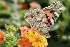 Schmetterlinge überwintern Helfen : distelfalter nabu mecklenburg vorpommern ~ Frokenaadalensverden.com Haus und Dekorationen