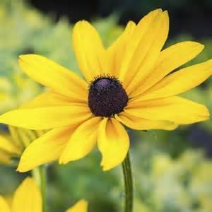d roses plante à fleurs jaunes liste ooreka