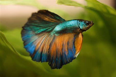 beta fish halfmoon 171 mykingdomforafish