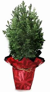 Holiday Trees Indoor Potted Plants European Pines
