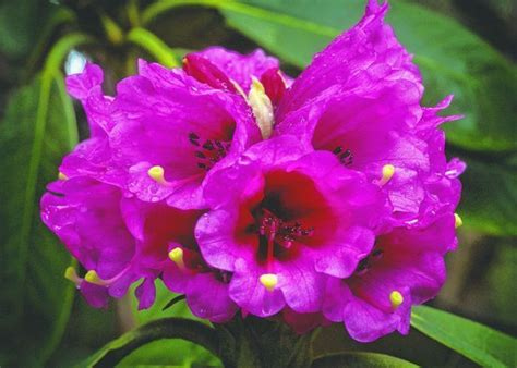 rhododendron varieties pictures rhododendron varieties google search flowering splendor pintere