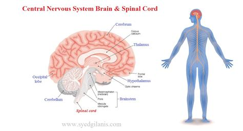 The somatic nervous system consists of peripheral nerve fibers that pick up sensory information or sensations from the peripheral or distant organs (those away from the brain like limbs) and carry them. Central Nervous System: Structure, Function, Brain & Spinal Cord - Syedgilanis.com
